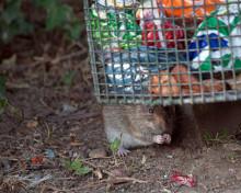 Varför gillar skadedjur byggarbetsplatser – och hur stoppar man dem?