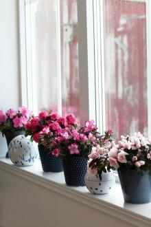 Azalean har blommat i våra hem sedan 1800-talet