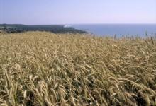 Spannmålsskörden nästan dubbelt så stor som ifjol då torkan gav missväxt