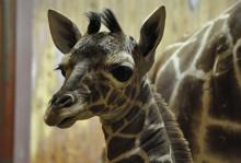 Pinocchio - Nyfödd giraffkalv på Kolmården