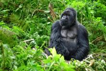 Håb for bjerggorillaerne i det centrale Afrika