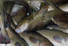 Begränsad tillgång på torsk i Östersjön
