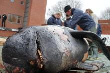 Grindehvalens tragiske hemmelighed