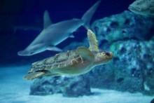 Danmarks eneste havskildpadde flytter ind på Den Blå Planet