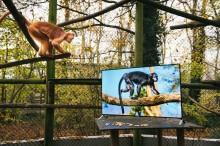 Lémures y langures ven televisión 4K vívida como parte de su reintroducción en su hábitat
