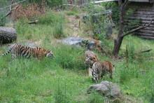 Tigrar ute för första gången 080625
