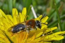 Hjælp vilde bier og mød folk fra forskellige kulturer