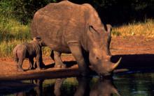 Tjuvjakten på noshörning minskar i Sydafrika