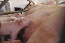 Probiotics for sows and suckling piglets: One live pig more per year per sow
