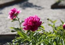Så sköter du dina pioner – 5 tips från Julita gårds trädgårdsmästare