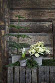 Julens blommor - här är favoriterna
