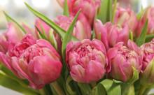 Slik steller du tulipanene