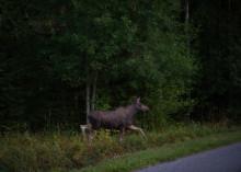 Laske ajonopeutta maanteillä: metsästyskauden alku lisää hirvikolarien määrää