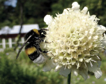 Professor på upptäcktsfärd bland svenska humlor, bin och vilda pollinerare