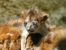 De hotade rödbukade lemurerna har blivit föräldrar igen