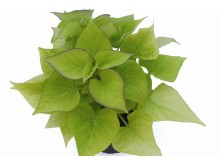 Ipomoea batatas Sweet Heart Light Green