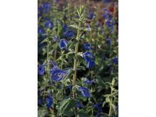 Blåsalvia Salvia patens