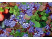 Blåblomma – Ceratostigma plumbaginoides