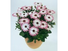 Stjärnoga Osteospermum ecklonis Flower Power Pink Eye