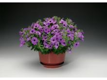 Petunia Sanguna Lavender vein
