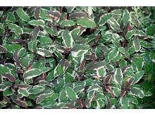 Kryddsalvia 'Tricolor' – Salvia officinalis 'Tricolor'