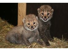 Gepardungar 080623