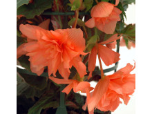 Orange hängbegonia 'Gubben & Gumman'