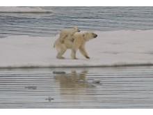 Liftande isbjörnsunge