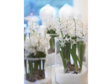Vita hyacinter i högt glas