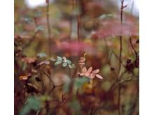 Ruska leaves