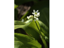 Ramslök Allium ursinum