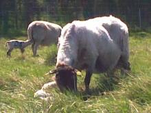 Björkarö Gård lamm