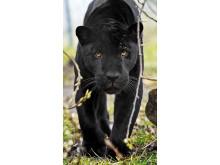 Den svarta pantern Avatar på Parken Zoo