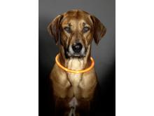 Lysande hundhalsband på hund