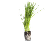 Gräslök (Allium schoenoprasum)