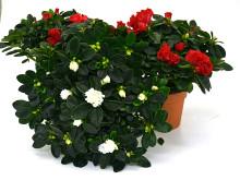 Lucka nr 13 - Rumsazalea i en Blomstrande Julkalender