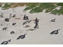 Sydafrika - afrikanska pingviner på Boulders Beach