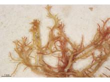 Rödald typmaterial, Kallymenia harveyana