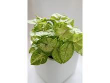 Pilspetsranka Syngonium podophyllum 'Andrea'