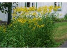 Kanadagullris, Solidago, skal ikke plantes i norske hager
