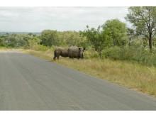 Nyfikna noshörningar i Kruger National Park