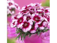 Dianthus 'Venti Parfait Crimson Eye'