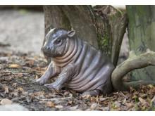 Dvärgflodhäst född i Parken Zoo Eskilstuna