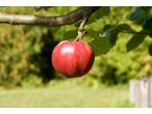 Äpple, Röd höstkalvill, foto Peter Segemark, Nordiska museet