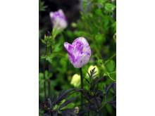 Triumftulpan, Tulipa gesneriana (Triumph-Gruppen) 'Shirley'