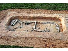 Utgrävning, dinosaurie