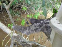 WTG-Suriname-Faultier-Auswilderung