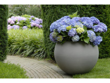 Forever&Ever Blue - passar både i trädgård och kruka