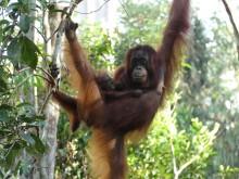 PI-Zoo-DARWINEUM-88-2017_Indonesien_Reise zu den Letzten ihrer Art_Orang-Utan-Mutter_Tobias Pollmer