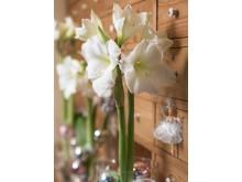 Vit amaryllis i bokhylla